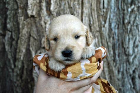 golden retriever 3 weeks shela s puppies 3 weeks golden retriever