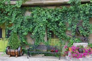 fast growing vines for urban garden privacy pioneer dad