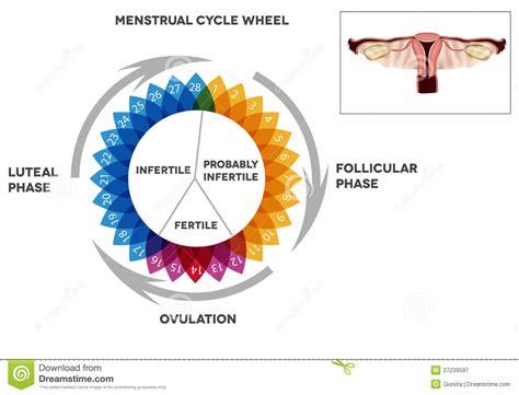 Calendario Femenino Menstrual Cycle Calendar And Reproductive System Stock