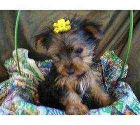 yorkies for sale in milwaukee 1000 ideas about yorkie puppies for adoption on teacup yorkie for