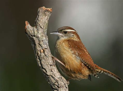 carolina wren the life of animals