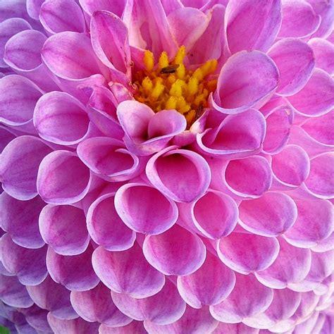 dahlia fiore free photo dahlia dahlias flowers plant free image