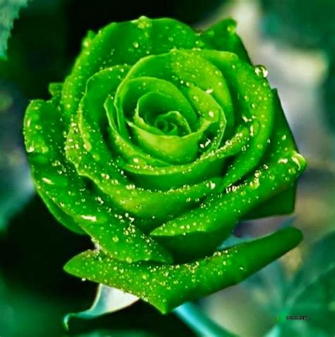 beautiful green color green do you roses flowers