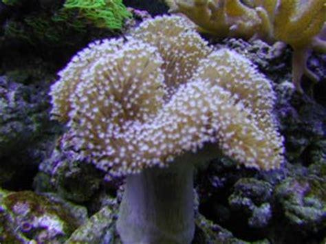 soft corals marine aquariums and coral reef aquarium tank