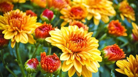 can fall mums survive frost how to make mums last longer gardening advice new today