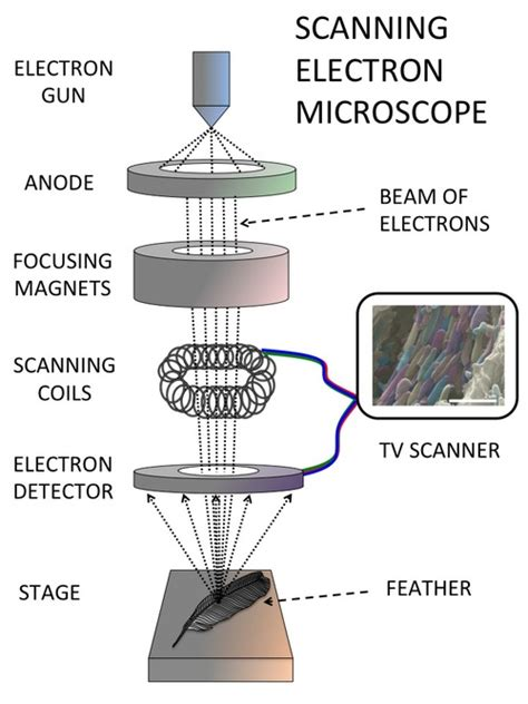 diagram of electron microscope electron microscopy for biological sciences