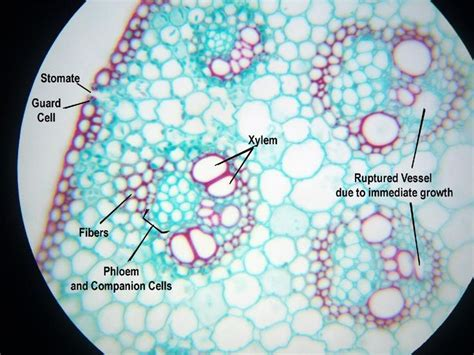 zea mays stem cross section 78 best images about general bio ii on pinterest okra