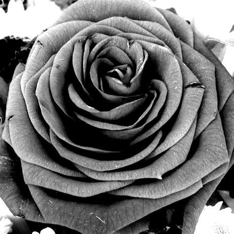 imagenes de rosas grises rosa en escala de grises gris grey pinterest