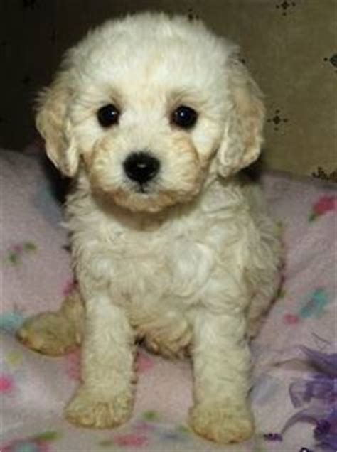 white maltipoo puppies cuddly heaven on maltipoo puppies maltipoo and teacup maltipoo