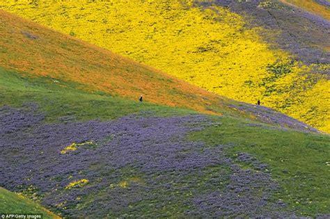 colorful wildflowers carpet  sands  california