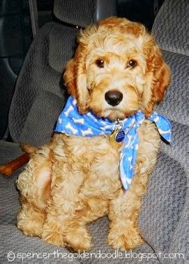 goldendoodle puppy uti spencer the goldendoodle vaccination