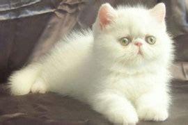 allevamento gatti persiani lombardia allevamenti in lombardia gattipersiani it gatti persiani