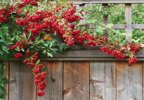 cespugli sempreverdi con fiori giardinaggio siepi arbusti sempreverdi da fiore da