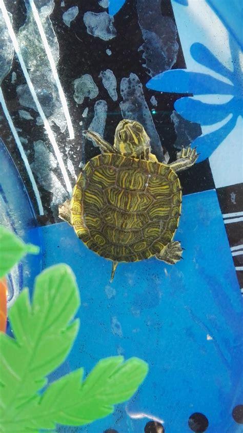 alimentazione tartaruga alimentazione tartaruga che non cresce