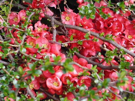 flowering quince starting to bloom minerva s garden - Japanese Flowering Shrubs
