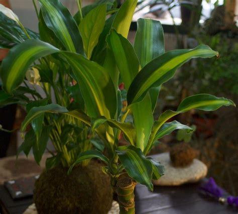 plantas en agua interior palo de agua cultivo y cuidados plantas interior flor