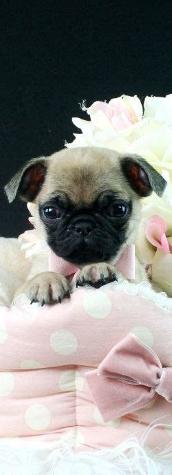 micro pugs for sale best 25 teacup pug ideas on baby pugs teacup animals and baby dogs
