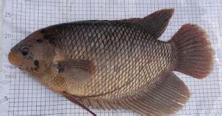 Bibit Lele Gorontalo budidaya ikan lele phyton sangkuriang pendederan benih