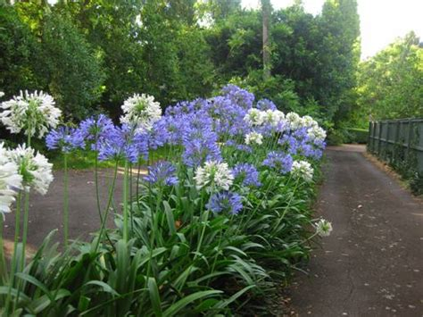 blue family in the garden agapanthus arnold zwicky s