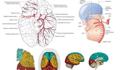 28 87 Posterior Brain Circulation Anatomy Vasculature