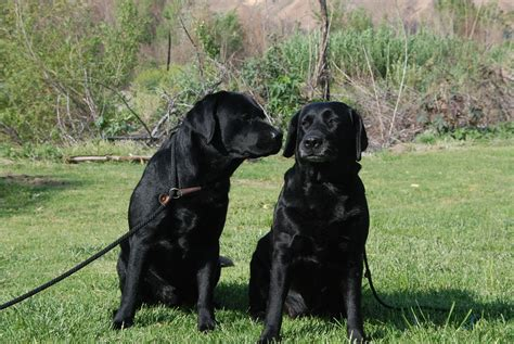 big black dogs black rescue me