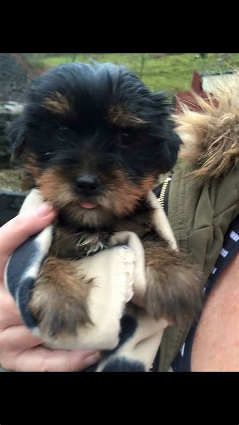tiny teacup yorkies for sale in uk tiny yorkie puppies for sale ammanford carmarthenshire pets4homes
