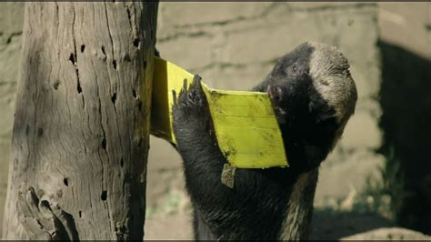 honey badger  bee hive nature  pbs youtube