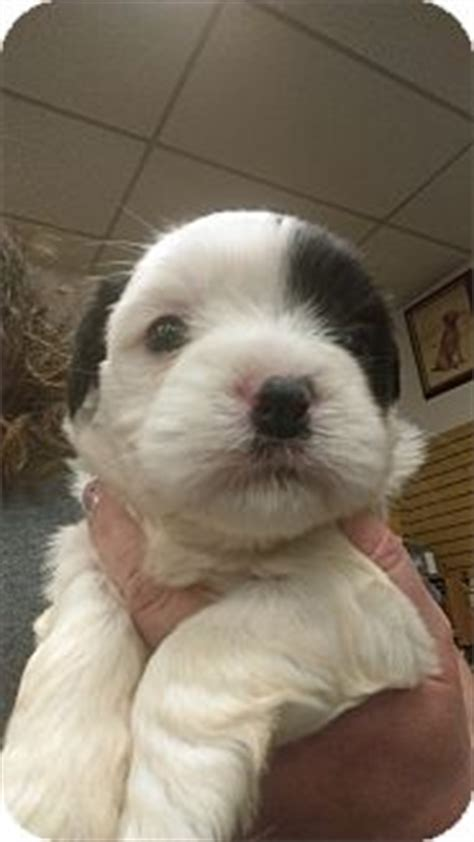 shih tzu and pitbull mix puppies furley adopted puppy ogden ut shih tzu pit bull terrier mix