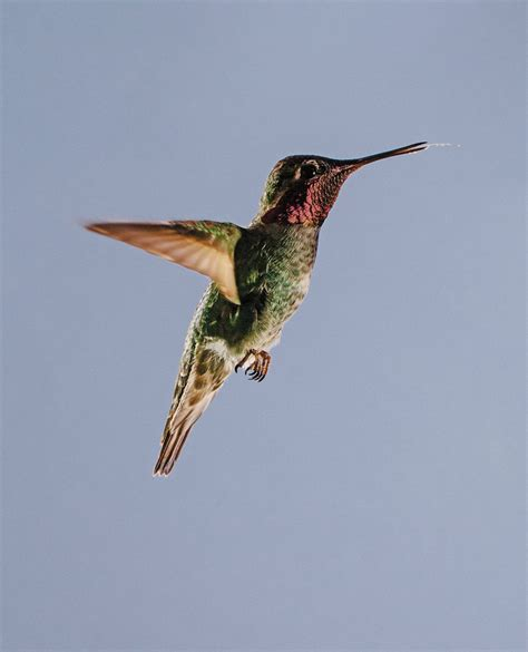 hummingbird research at ubc montecristo