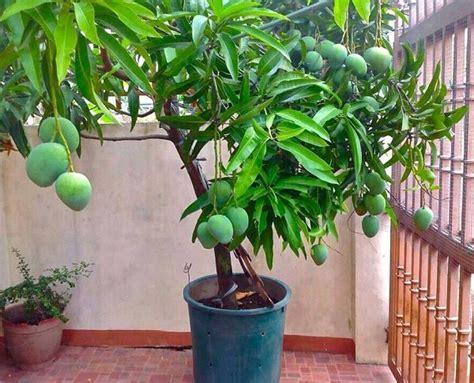 tree to plant how to grow mango tree in pot