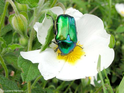 coleotteri volanti gli insetti che visitano i fiori cisto