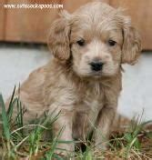 cockapoo puppies for sale in wi 25 best ideas about cockapoo breeders on cockapoo for sale cockapoo