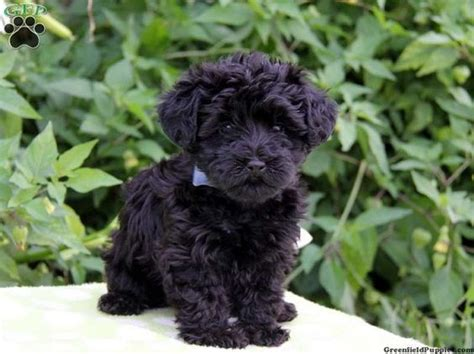 yorkie poo puppies for sale in indiana yorkie poo puppies for sale zoe fans baby animals lost