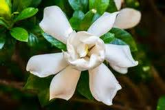 Gardenia Wont Bloom Gardenia Bloom Stock Image Image Of Summer