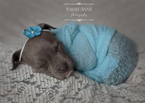 cincinnati puppies blue pit bull pup newborn puppy photos photography cincinnati