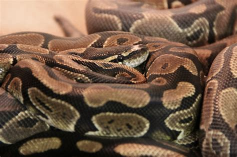 exotic pet refuge animals common pet snakes