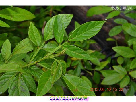 常綠小灌木,民間大多做為避邪用。 .txt