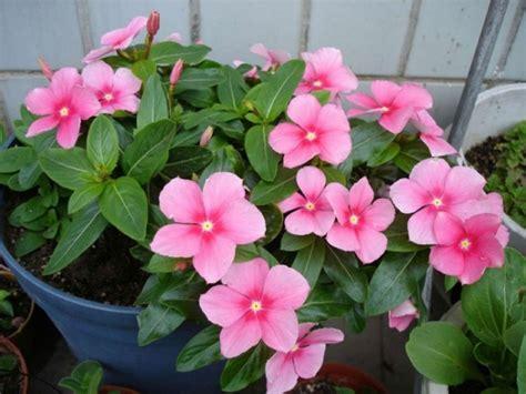 Tanaman Hias Bunga Geranium Pink menanam dan budidaya bunga geranium satu jam
