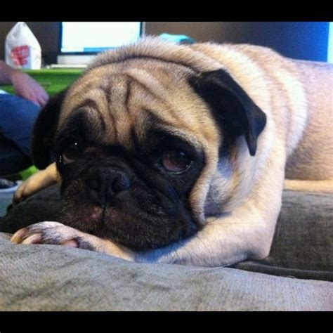cutest pug in the world cutest pug in the world maggiepug flickr photo