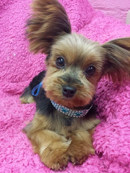 japanese style grooming yorkie asian fusion yorkie cut korean grooming style 235 r asian