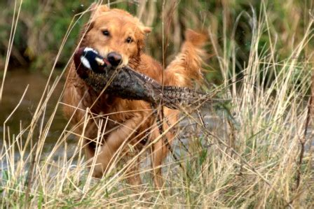 golden retrievers to hunt s goldstrike golden retrievers