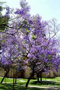 tree with purple flowers blooming tree with purple flowers by mariola bitner