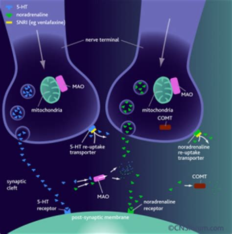 Serotonin Also Search For Serotonin And Norepinephrine Reuptake Inhibitors Snris Herb Museum