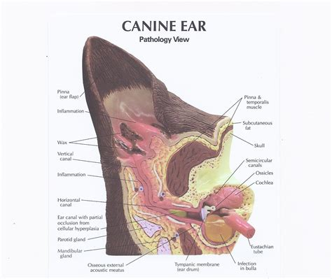 how to clean out dogs ears cleaning your s ears animal hospital of hasbrouck heights