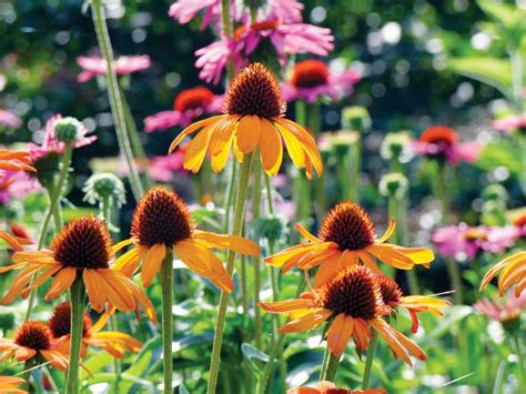 echinacea varieties 19 cutting edge coneflowers