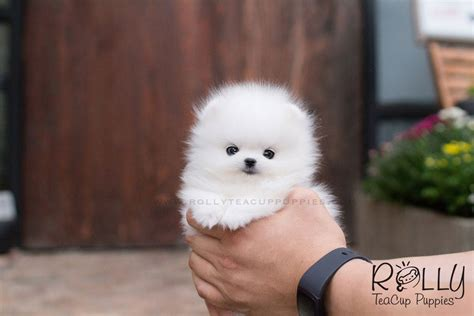 what are rolly teacup puppies milly pomeranian rolly teacup puppies