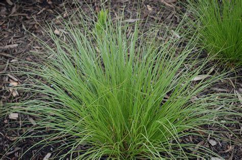 sporobolus horticulture