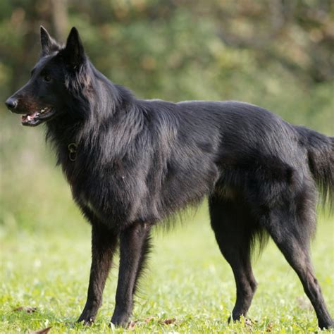 belgian breeds belgian shepherd groenendael breed guide learn about the belgian shepherd groenendael