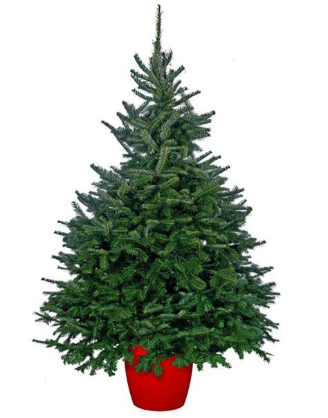 Lovely Christmas Trees 5ft #3: Pot-grown-fraser-fir.jpg