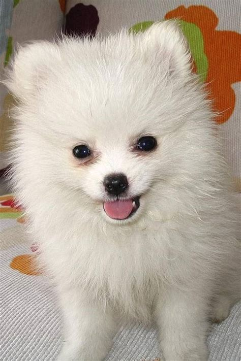 small white puppy fluffy dogs quotes